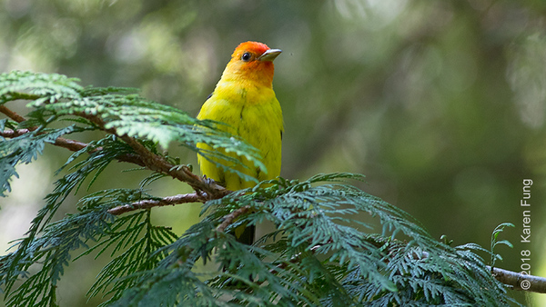 19 July: Western Tanager, Eastern Cascades