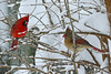 Northern Cardinal couple