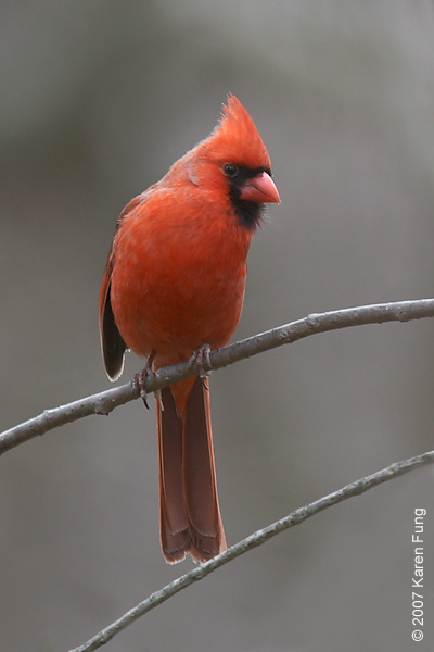 Northern Cardinal in Baldwin, NY