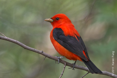 7 May:  Scarlet Tanager in Central Park