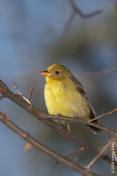 29 March: Western Tanager in Central Park.  A rare visitor to NYC.