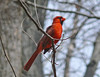 Northern Cardinal singing