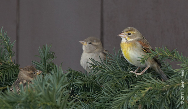 13 November: Female Dickcissel with (female) House Sparrows in front of the (female) rest room at Jones Beach CGS.