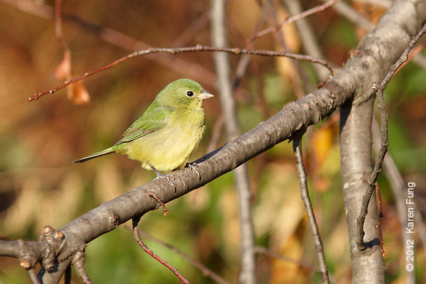 26 November: Female Painted Bunting at Alley Pond Park