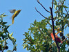 A Summer Tanager watches a Scarlet Tanager arrive in his tree