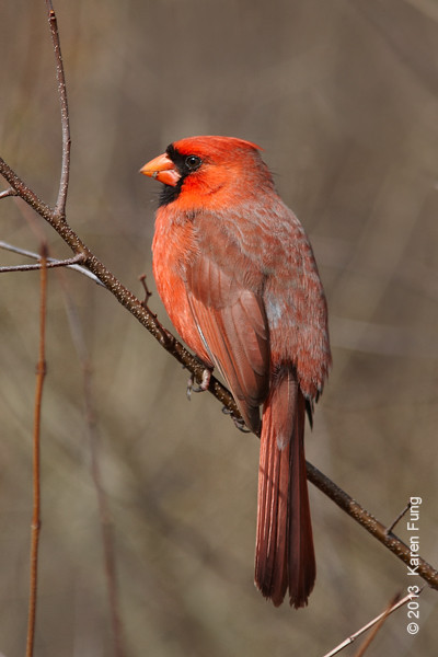 24 February: Northern Cardinal in Central Park