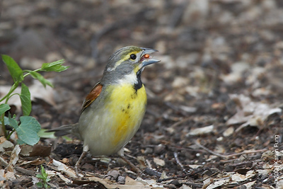 May 10th: Dickcissel in Central Park (Falconer's Hill).  A rare visitor to NYC.