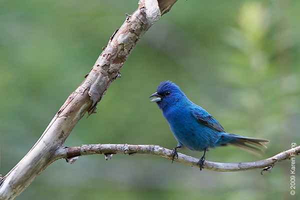 28 June: Indigo Bunting in Orange County, NY