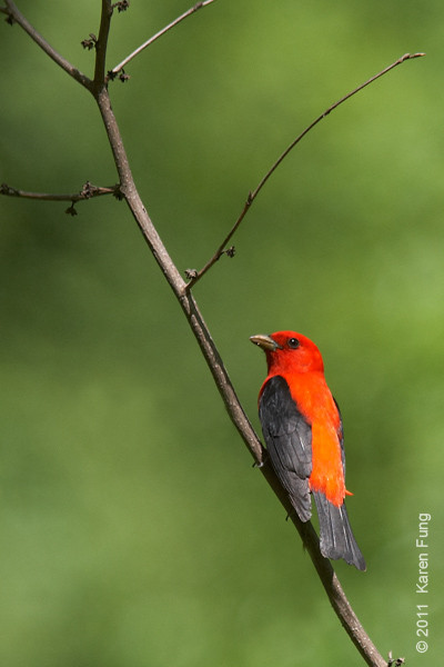8 May:  Scarlet Tanager in Central Park (North Woods)