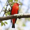 Scarlet Tanager<br /> Red Hook