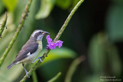 Bananaquit - Asa Wright Nature Center, Trinidad