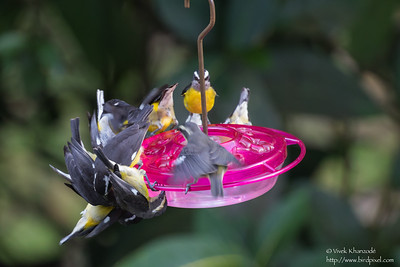 Bananquits on the feeder - Asa Wright Nature Center, Trinidad