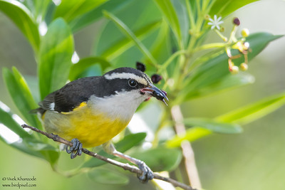 Bananquit - Caye Caulker, Belize