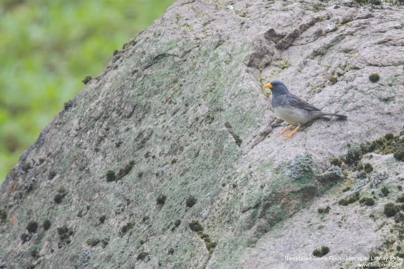 Band-tailed Sierra-Finch - Lomas de Lachay, Peru