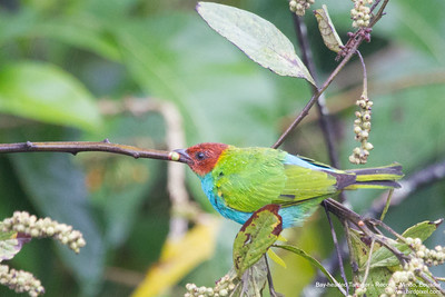 Bay-headed Tanager - Record - Mindo, Ecuador