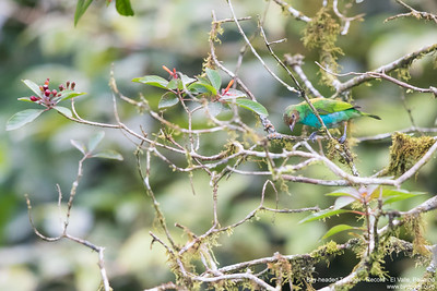 Bay-headed Tanager - Record - El Valle, Panama