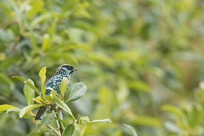 Beryl-Spangled Tanager - Napo, Ecuador