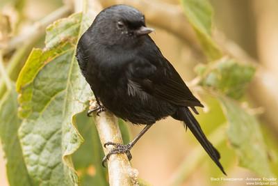 Black Flowerpiercer - Antisana, Ecuador