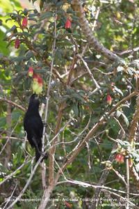 Black Flowerpiercer - Antisana Ecological Preserve, Ecuador