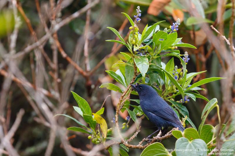 Black Flowerpiercer - El Dorado Lodge, Colombia