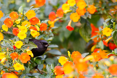 Black Flowerpiercer - El Dorado Lodge, Colombia