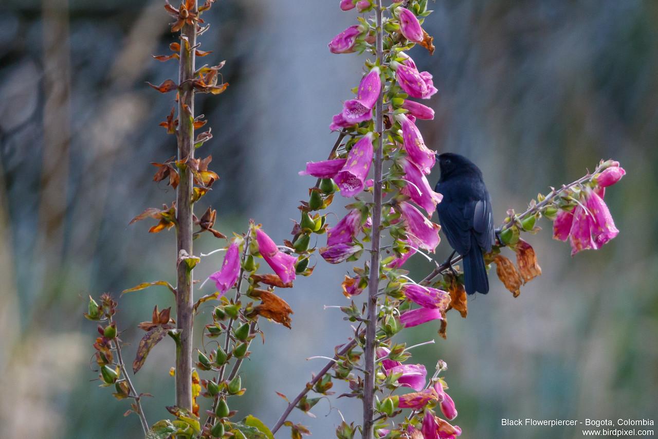 Black Flowerpiercer - Bogota, Colombia