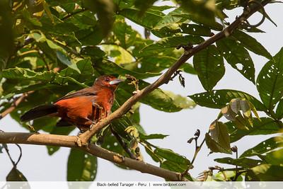 Black-bellied Tanager - Peru