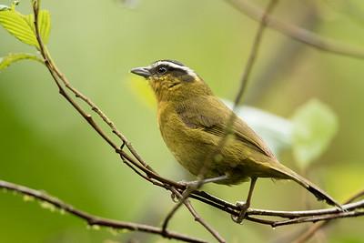 Black-capped Hemispingus - Record - Papallacta, Ecuador