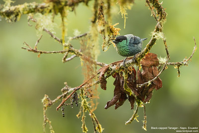 Black-capped Tanager - Napo, Ecuador