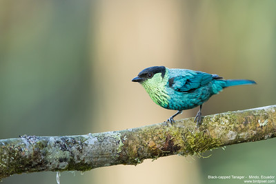 Black-capped Tanager -  Mindo, Ecuador