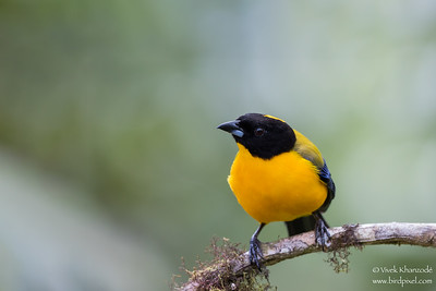 Black-chinned Mountain-Tanager - Mindo, Ecuador