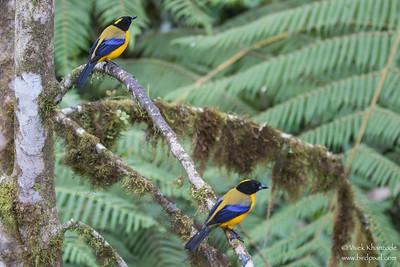 Black-chinned Mountain-Tanager - Mindo, Ecuador
