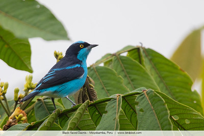Black-faced Dacnis - Peru