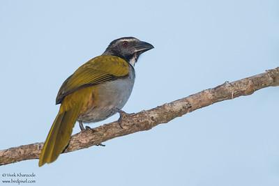 Black-headed Saltator - Hidden Valley Inn & Reserve, Belize