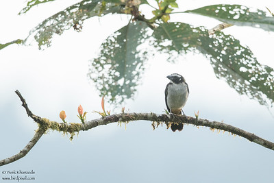 Black-winged Saltator - Mashpi, Ecuador