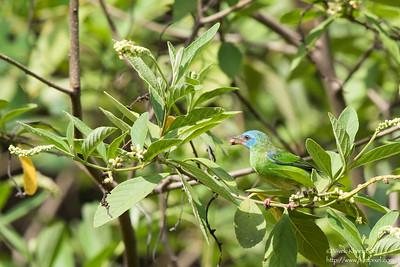 Blue Dacnis - Female - Nariva Swamp, Trinidad