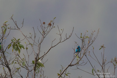 Blue Dacnis pair - Record - Asa Wright Nature Center, Trinidad
