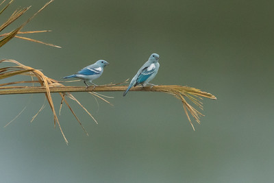 Blue-gray Tanager - Amazon, Ecuador