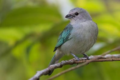 Blue-gray Tanager - Los Quetzales Lodge, Guadalupe, Panama