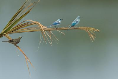 Blue-gray Tanagers & Palm Tanager - Amazon, Ecuador