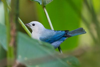 Blue-Gray Tanager - Selva Verde, Costa Rica