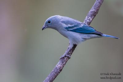 Blue-gray Tanager - Inkaterra Resort, Aguas Calientes, Peru