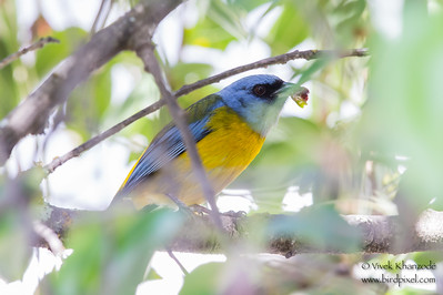 Blue-and-yellow Tanager - Record - El Albergue Hotel, Ollantaytambo, Peru