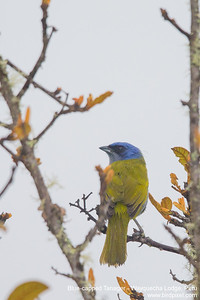 Blue-capped Tanager - Wayquecha Lodge, Peru