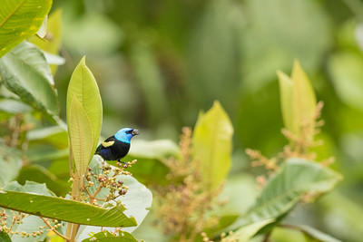 Blue-necked Tanager - Record - Sumaco, Ecuador