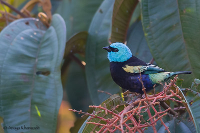 Blue-necked Tanager - Cock-of-the-Rock Lodge, Nr. Manu National Park, Peru