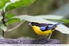 Blue-winged Mountain-Tanager - Angel Paz de las Aves - Nr. Mindo, Ecuador