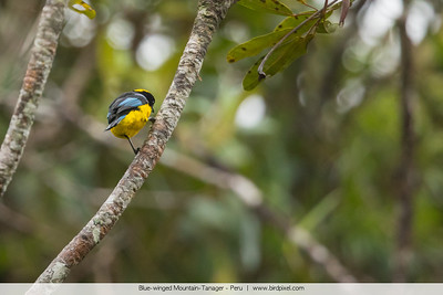 Blue-winged Mountain-Tanager - Peru