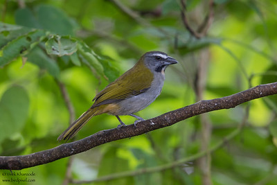 Buff-throated Saltator - Mindo, Ecuador