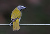 Buff-throated Saltator - Gamboa Rainforest Resort, Gamboa, Panama